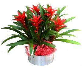 5 adet guzmanya saksı çiçeği  Ankara Sincan çiçek , çiçekçi , çiçekçilik