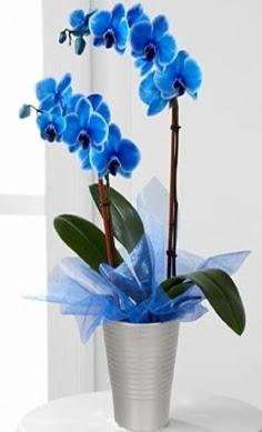 Seramik vazo içerisinde 2 dallı mavi orkide  sincan çiçekçi Ankara Sincan internetten çiçek satışı