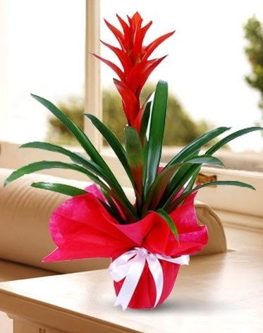 Guzmanya Saksı Çiçeği  Ankara Sincan ucuz çiçek gönder