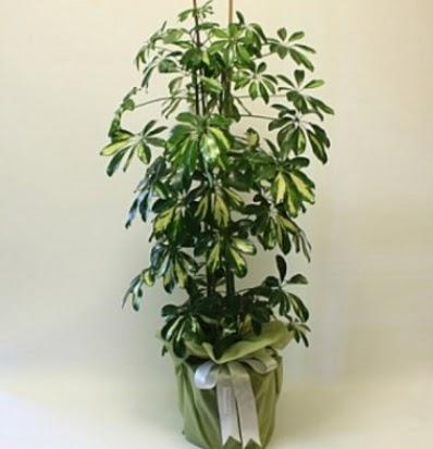 Şeflera salon bitkisi  Ankara Sincan hediye çiçek yolla