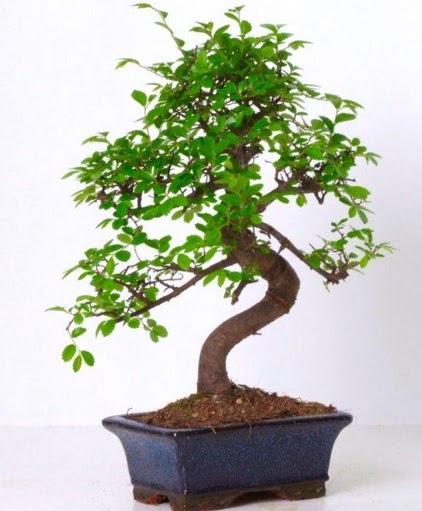 S gövdeli bonsai minyatür ağaç japon ağacı  Ankara Sincan çiçek , çiçekçi , çiçekçilik