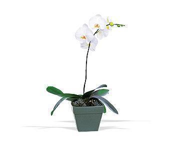 orkide saksi çiçegi  Ankara Sincan çiçek online çiçek siparişi