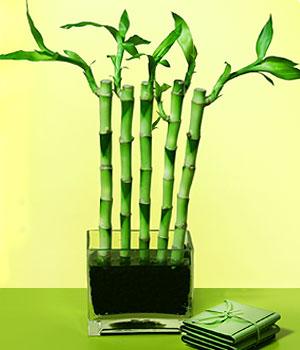 Ankara Sincan kaliteli taze ve ucuz çiçekler  Good Harmony Lucky Bamboo camda
