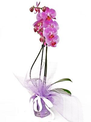 Ankara Sincan kaliteli taze ve ucuz çiçekler  Kaliteli ithal saksida orkide