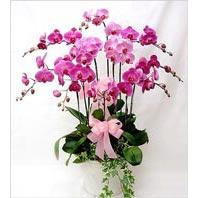 Ankara Sincan çiçek online çiçek siparişi  3 adet saksi orkide  - ithal cins -