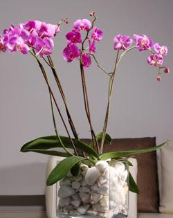 Ankara Sincan online çiçek gönderme sipariş  2 dal orkide cam yada mika vazo içerisinde