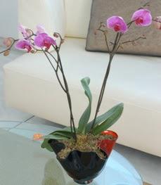 Ankara Sincan çiçek siparişi vermek  tek dal ikili orkide saksi çiçegi