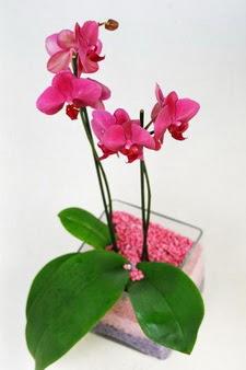Ankara Sincan çiçek siparişi vermek  tek dal cam yada mika vazo içerisinde orkide