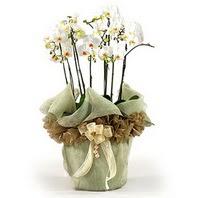 Ankara Sincan online çiçek gönderme sipariş  3 dal orkide , saksi çiçegi , 3 kök orkide