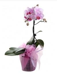 1 dal pembe orkide saksı çiçeği  Ankara Sincan İnternetten çiçek siparişi