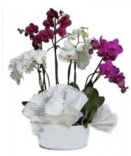 4 dal mor orkide 2 dal beyaz orkide  Ankara Sincan kaliteli taze ve ucuz çiçekler
