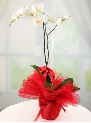 1 dal beyaz orkide saksı çiçeği  Sincan çiçek siparişi Ankara Sincan çiçek yolla