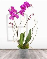 2 dallı mor orkide saksı çiçeği  Online Ankara Sincan çiçekçiler