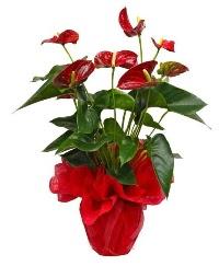 Görsel antoryum saksı çiçeği  Çiçek siparişi Ankara Sincan anneler günü çiçek yolla