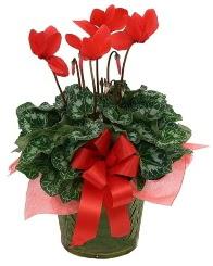Sılkamen saksı çiçeği  Sincan çiçek siparişi Ankara Sincan çiçek yolla