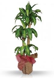 Dr.massengena saksı 3 lü  Ankara Sincan kaliteli taze ve ucuz çiçekler