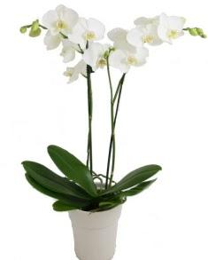2 dallı beyaz orkide  Ankara Sincan çiçek servisi , çiçekçi adresleri