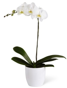 1 dallı beyaz orkide  Ankara Sincan çiçek mağazası , çiçekçi adresleri