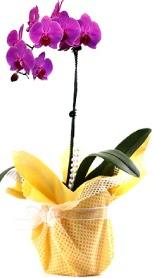 Ankara Sincan online çiçek gönderme sipariş  Tek dal mor orkide saksı çiçeği