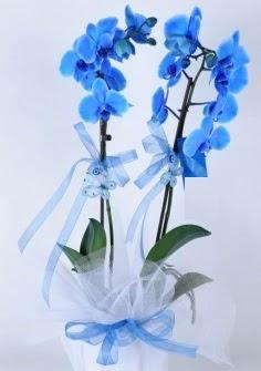 2 dallı mavi orkide  cicek siparisi Ankara Sincan cicek , cicekci