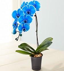 1 dallı süper eşsiz mavi orkide  Ankara Sincan çiçek yolla , çiçek gönder , çiçekçi