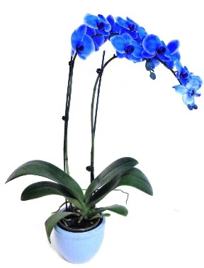 Seramikli 2 dallı süper eşsiz mavi orkide  Ankara Sincan online çiçekçi , çiçek siparişi