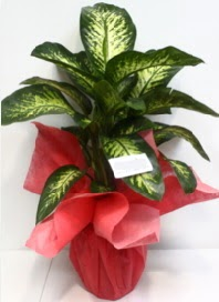 Büyük boy Difenbahya Saksı bitkisi 90 cm 1.10 cm  Ankara Sincan uluslararası çiçek gönderme