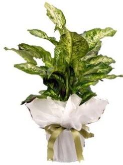 Difenbahya Mars Küçük boy  Ankara Sincan online çiçekçi , çiçek siparişi