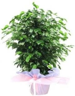 Benjamin Orta boy  Ankara Sincan 14 şubat sevgililer günü çiçek