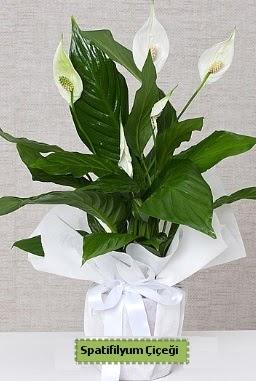 Spatifilyum Orta boy Saksı çiçeği  Ankara Sincan kaliteli taze ve ucuz çiçekler
