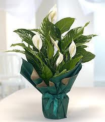 Spatifilyum Barış çiçeği Büyük boy  Ankara Sincan online çiçekçi , çiçek siparişi