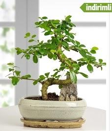 S şeklinde ithal gerçek bonsai japon ağacı  cicek siparisi Ankara Sincan cicek , cicekci
