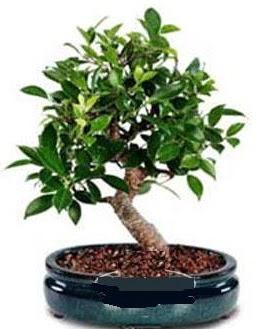 5 yaşında japon ağacı bonsai bitkisi  Ankara Sincan kaliteli taze ve ucuz çiçekler