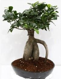 5 yaşında japon ağacı bonsai bitkisi  cicek siparisi Ankara Sincan cicek , cicekci