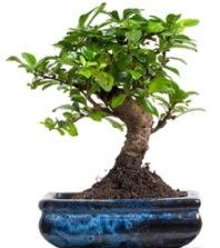 5 yaşında japon ağacı bonsai bitkisi  Ankara Sincan çiçek siparişi sitesi