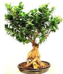 Bonsai Japon ağacı saksı bitkisi  Ankara Sincan online çiçek gönderme sipariş