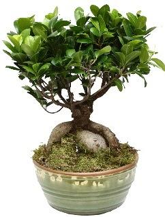 Japon ağacı bonsai saksı bitkisi  Online Ankara Sincan çiçek satışı
