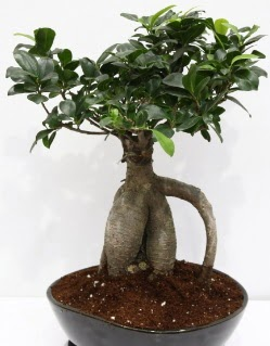 Japon ağacı bonsai saksı bitkisi  Ankara Sincan ucuz çiçek gönder
