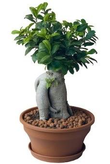 Japon ağacı bonsai saksı bitkisi  Ankara Sincan hediye çiçek yolla