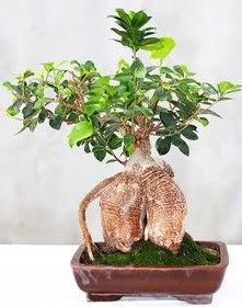 Japon ağacı bonsai saksı bitkisi  Online Ankara Sincan çiçekçiler