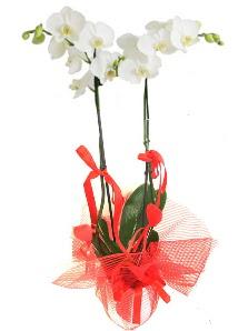 2 dallı beyaz orkide bitkisi  Ankara Sincan çiçek servisi , çiçekçi adresleri
