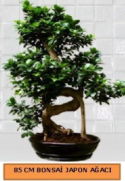 85 CM Japon ağacı Bonsai saksı bitkisi  Online Ankara Sincan çiçekçiler