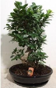 75 CM Ginseng bonsai Japon ağacı  Ankara Sincan internetten çiçek siparişi
