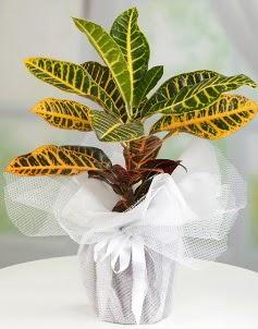 Orta boy kraton saksı bitkisi  Ankara Sincan online çiçekçi , çiçek siparişi