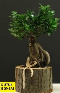Kütük içerisinde Bonsai japon ağacı  Ankara Sincan uluslararası çiçek gönderme