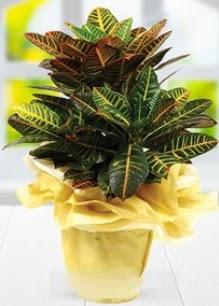 Orta boy kraton saksı bitkisi  Çiçek siparişi Ankara Sincan anneler günü çiçek yolla