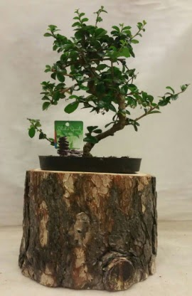 Doğal kütük içinde bonsai japon ağacı  Online Ankara Sincan çiçek satışı