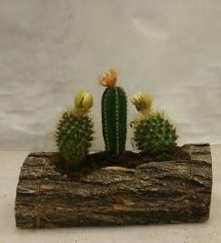 Doğal kütük içerisinde 3 adet kaktüs bitkisi  Ankara Sincan hediye sevgilime hediye çiçek