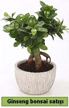 Ginseng bonsai japon ağacı satışı  Ankara Sincan çiçekçi mağazası
