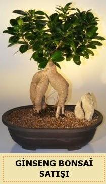 İthal Ginseng bonsai satışı japon ağacı  Ankara Sincan online çiçek gönderme sipariş